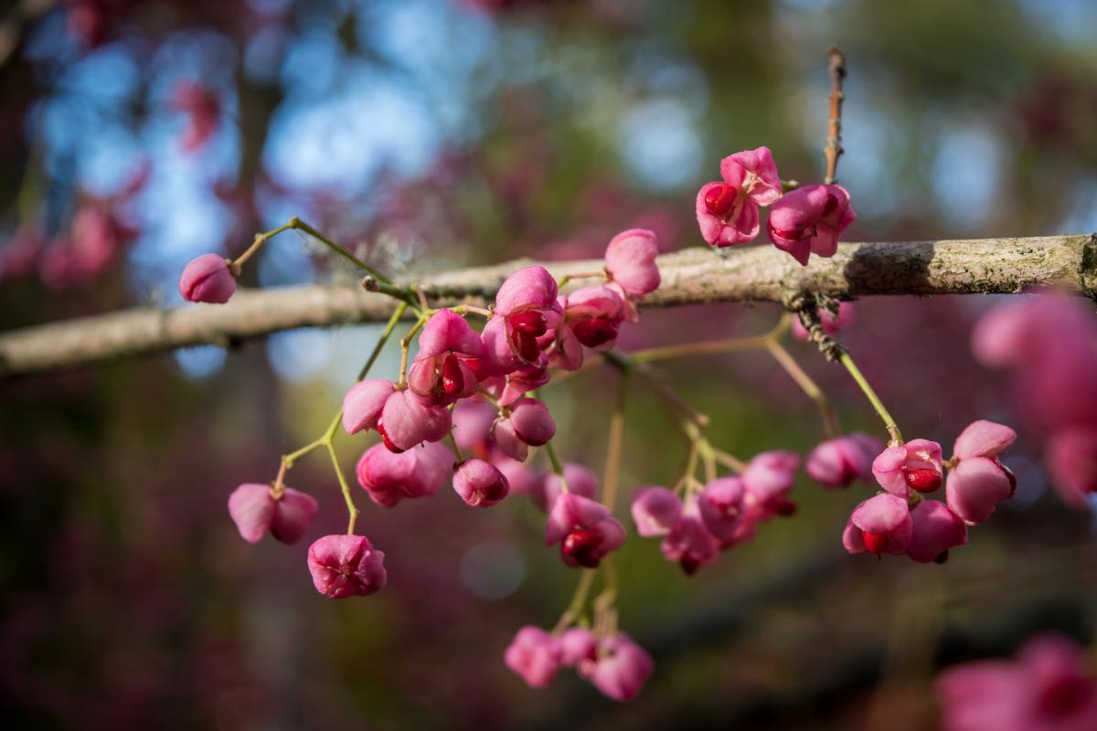 Сакура плоды фото и описание