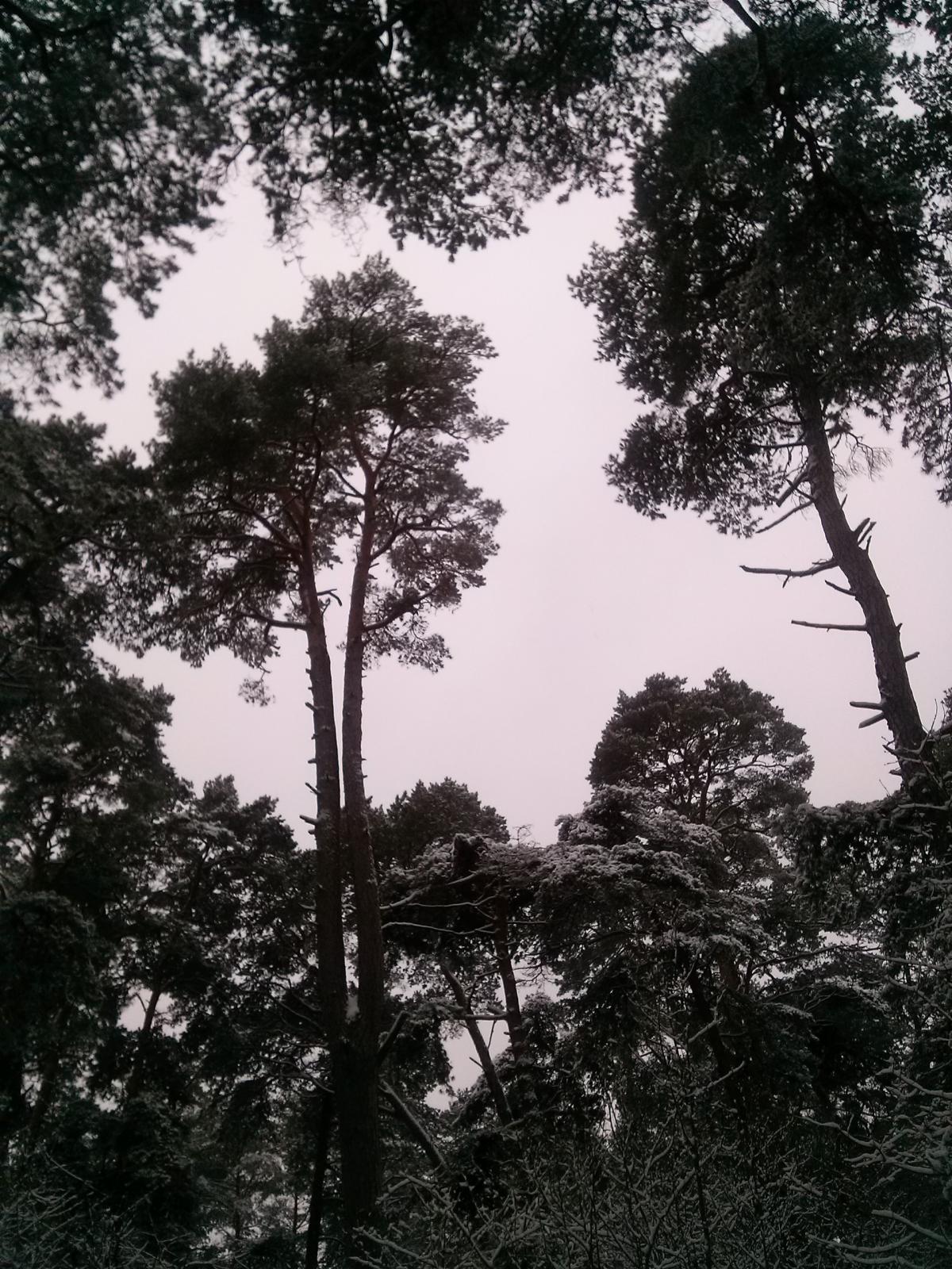 Pine Fir Tree #50701