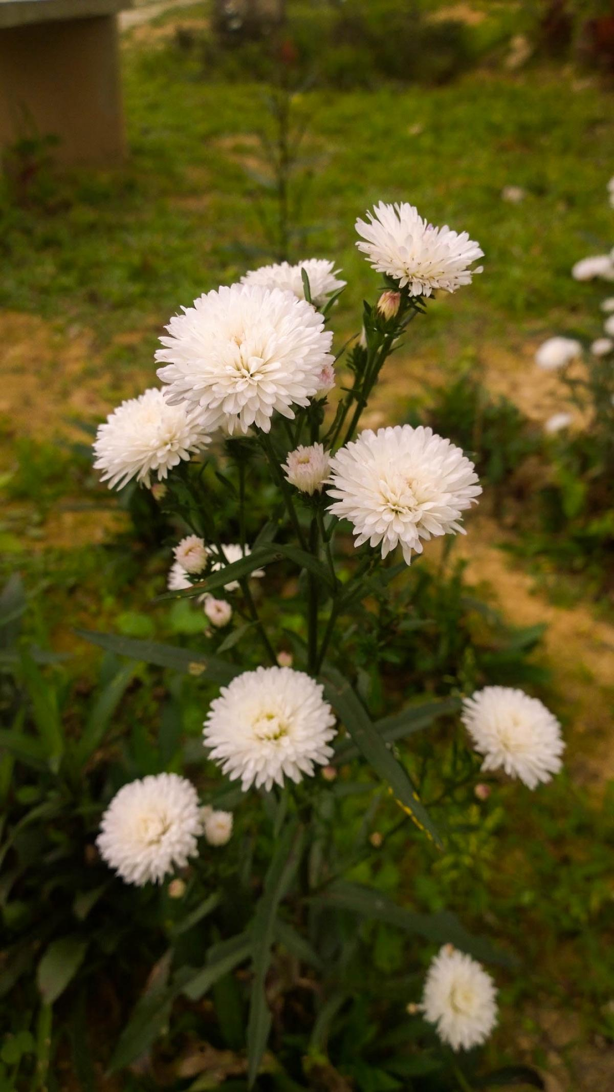 Free Chrysanthemum Flower White White Flower 51943 Stock Photo