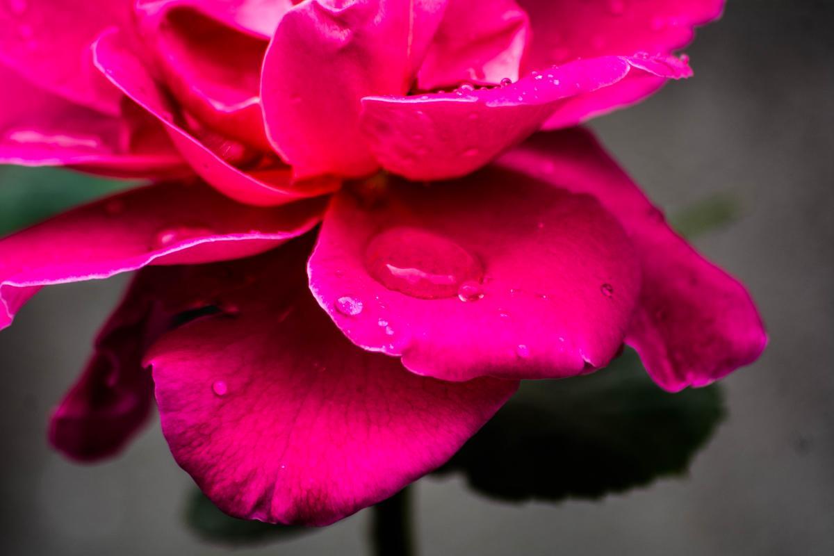 Pink Rose Petal #51951