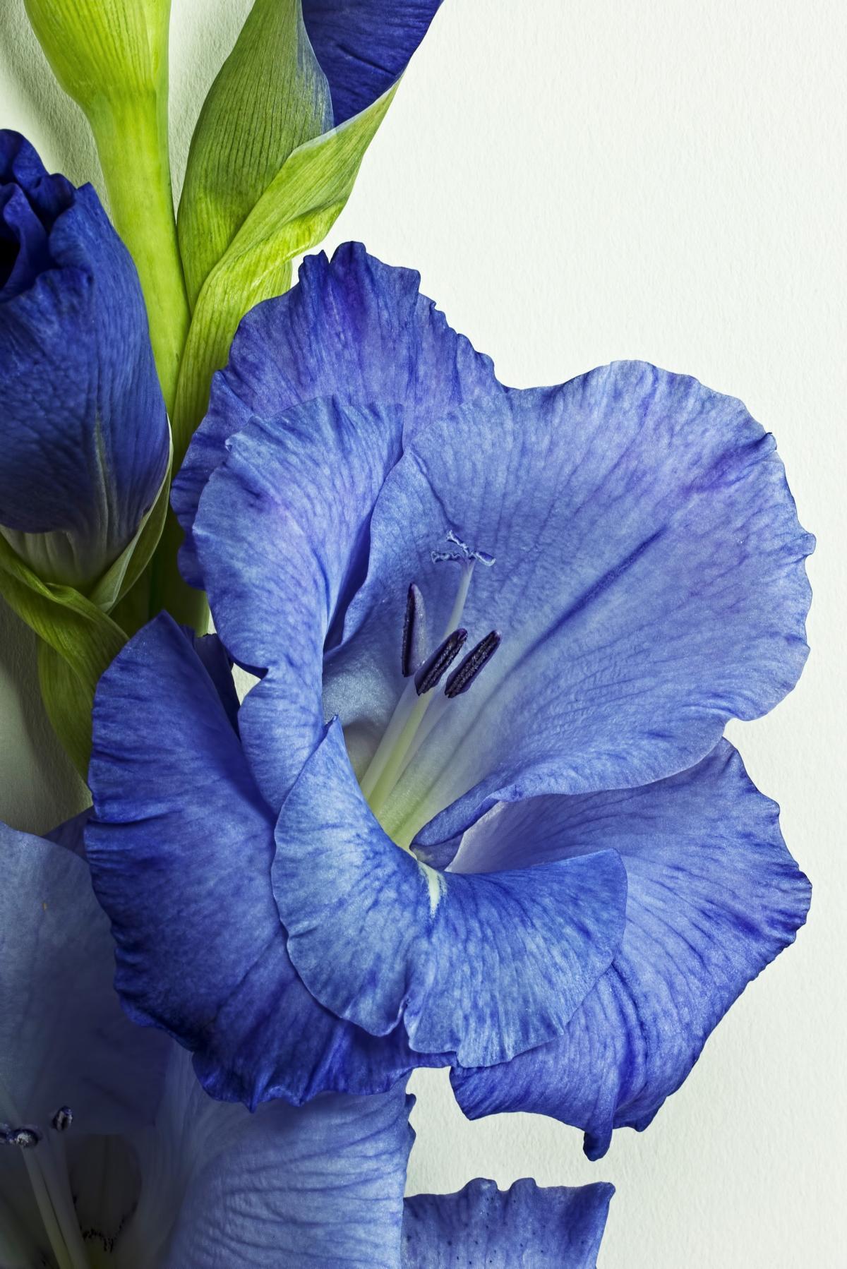 Close up flower flowers gladiolus
