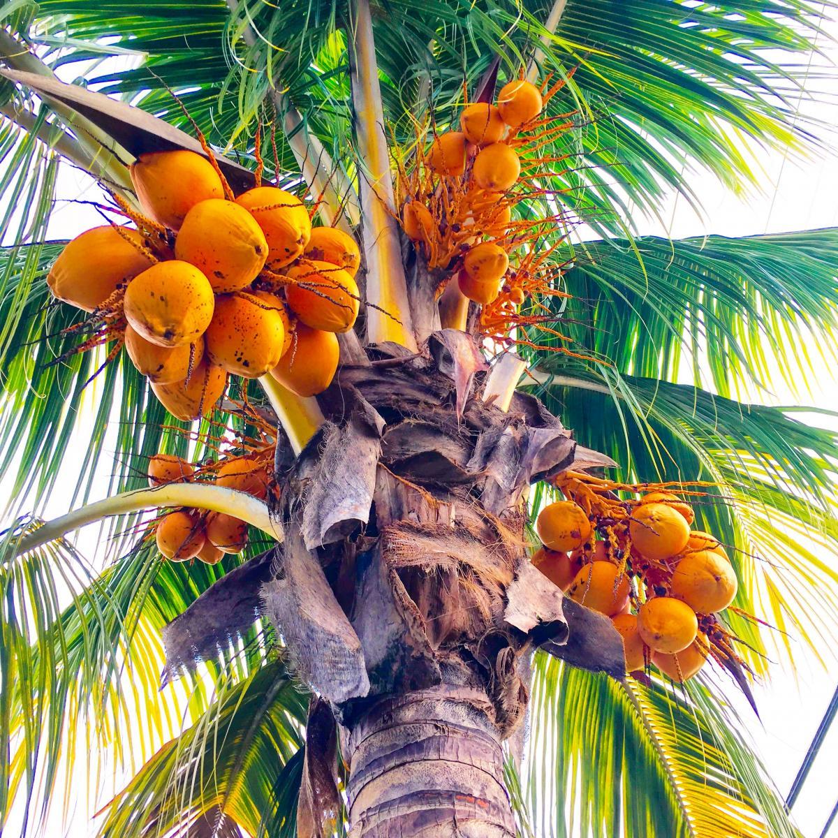 может картинки где растут кокосы нашей стране