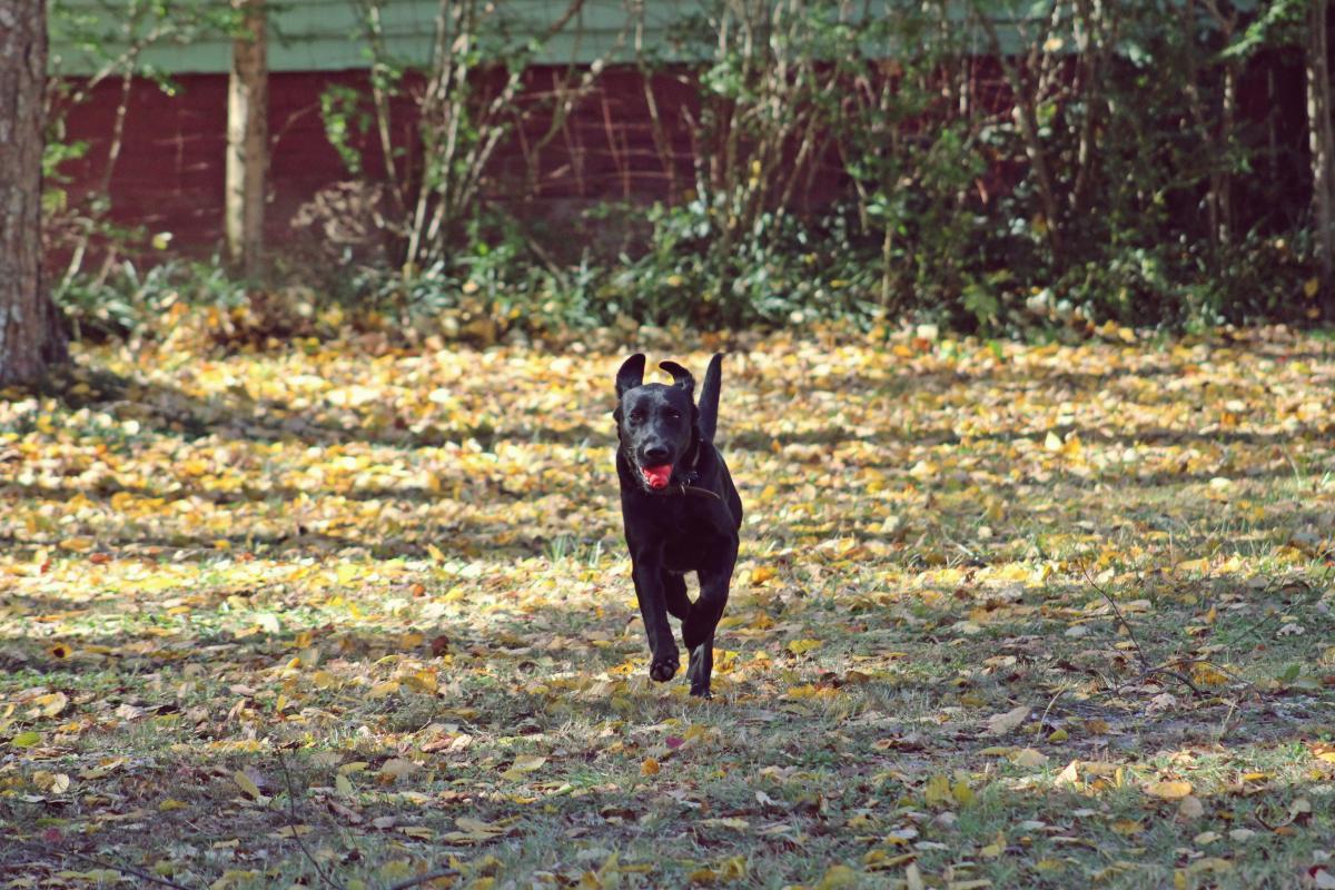 Backyard canine dog golden #58637