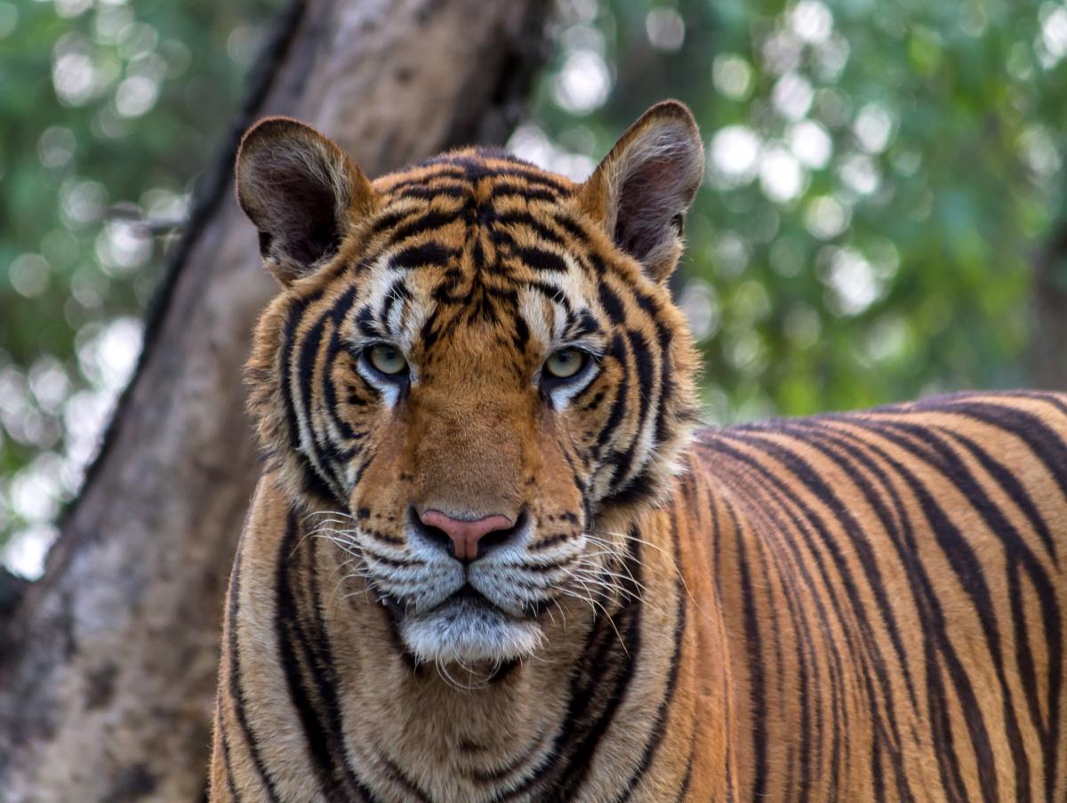 Close-up Portrait of Tiger #60783