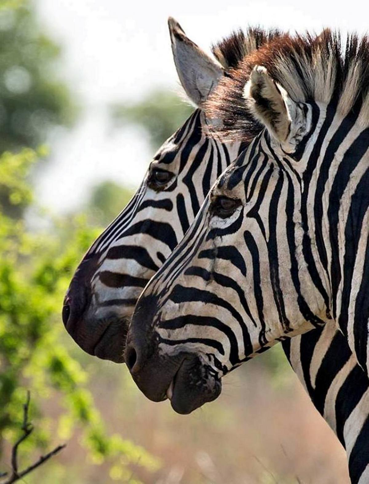Africa savanna wildlife zebra