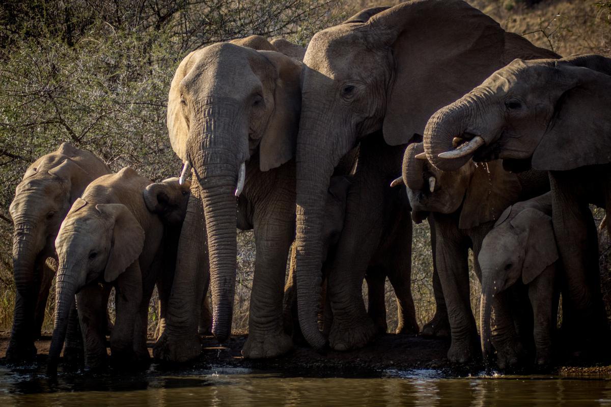 Africa elephant endangered pachyderm