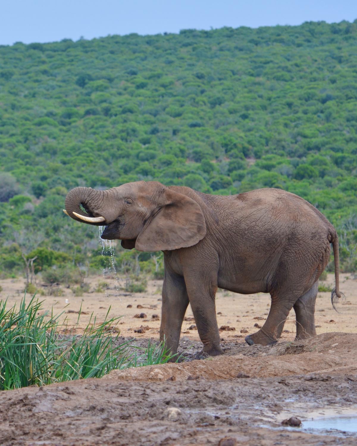 Addo national park elephant south africa