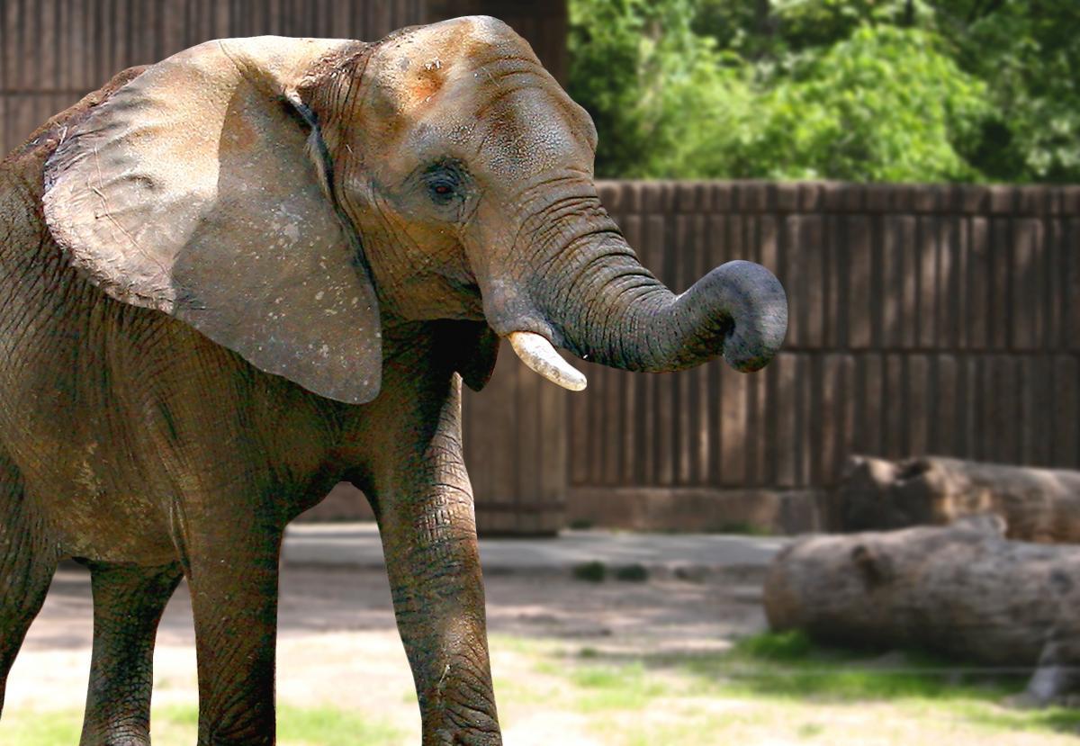 Africa animal elephant free image