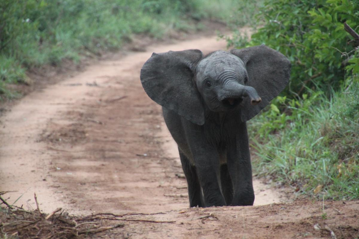 African elephant animals baby elephant elephants