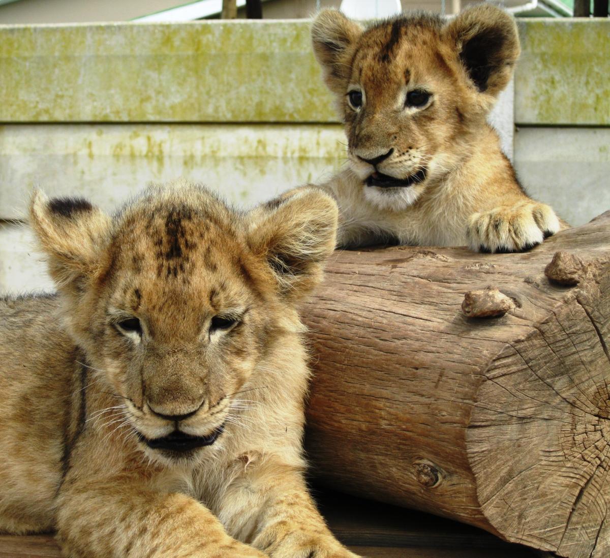 Lion playful s africa #67784