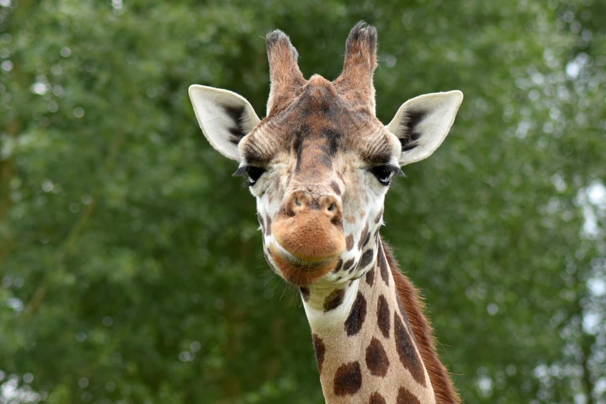 Africa animal cute giraffe