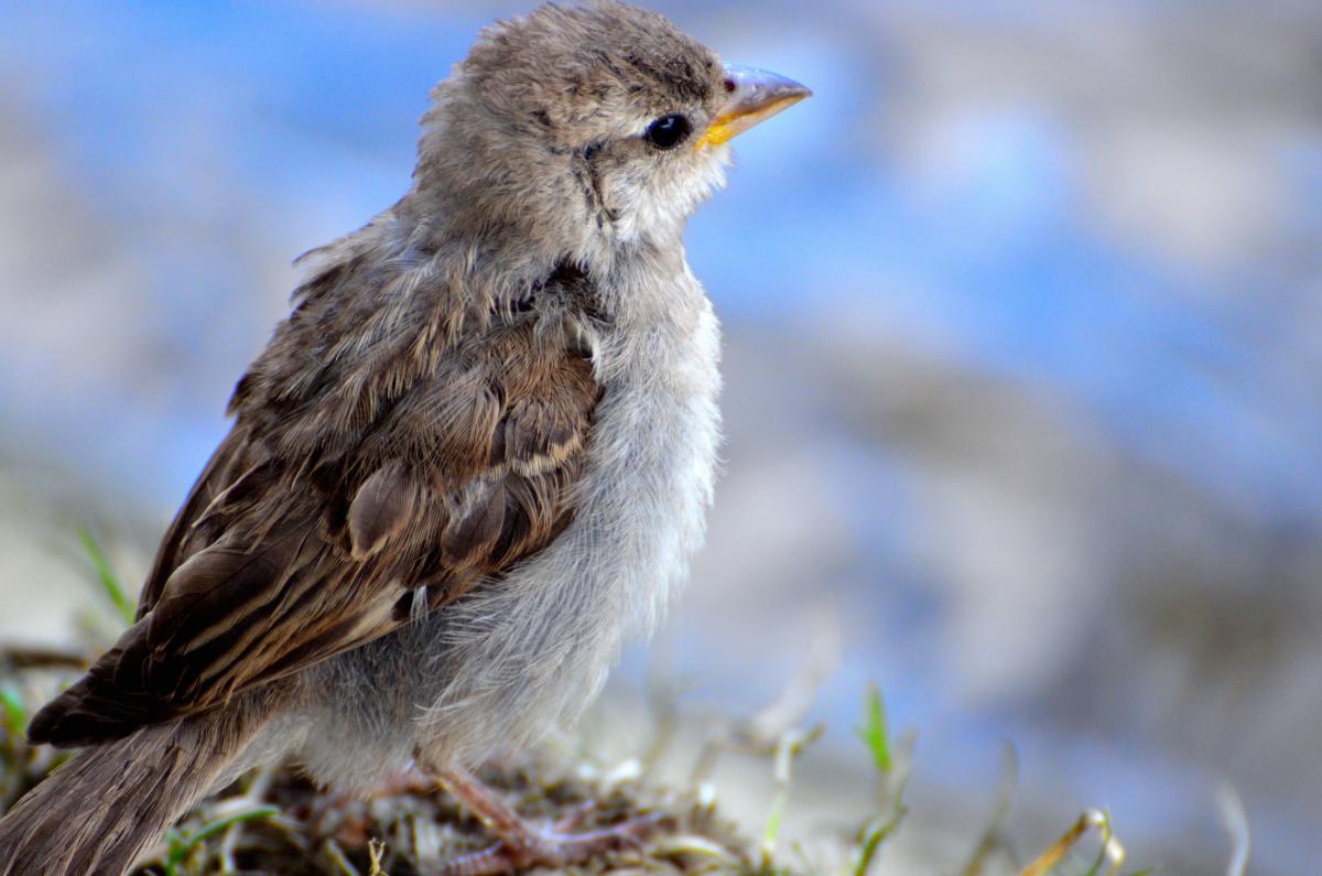 Animal bokeh sparrow