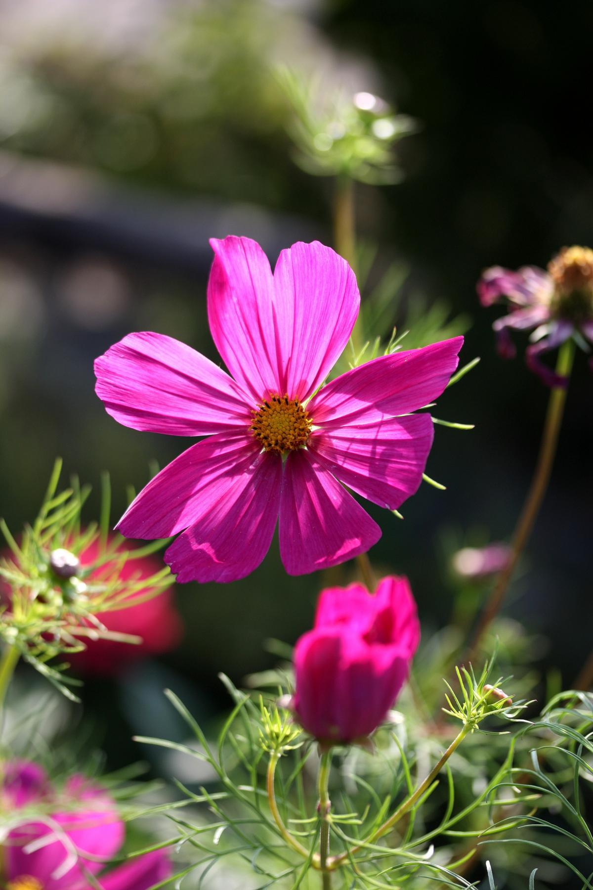 Cosmos flora flower pink #70826