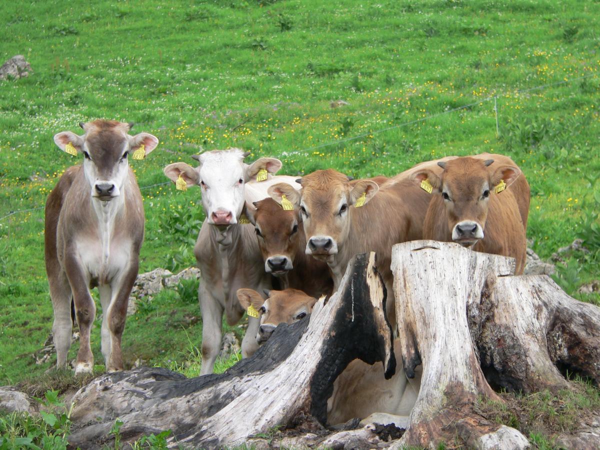Alp alpine pasture calf calves #72023