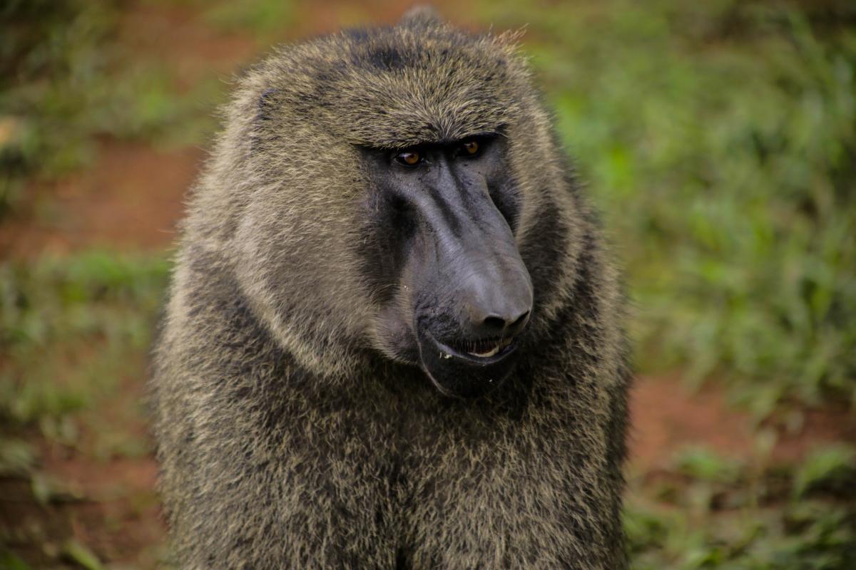 Animal animal photography animal portrait baboon #72058