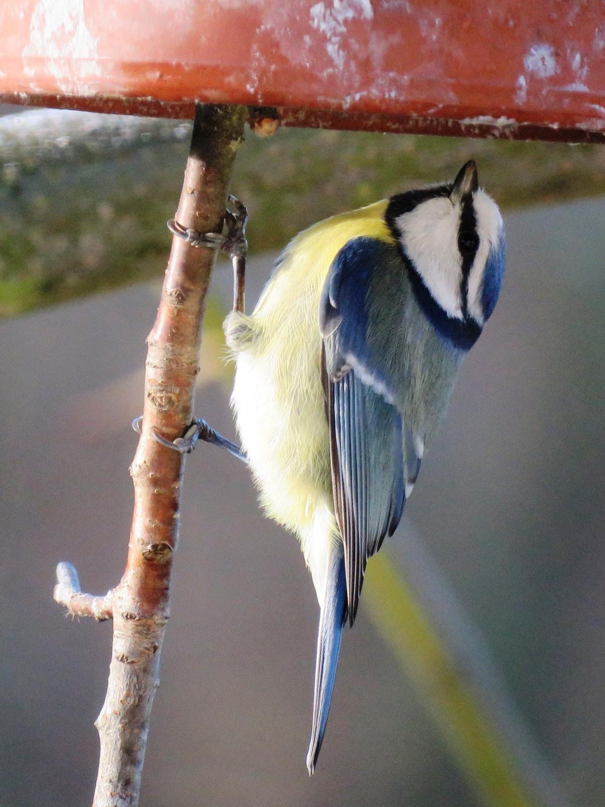 Bird blue blue tit feeding #75277