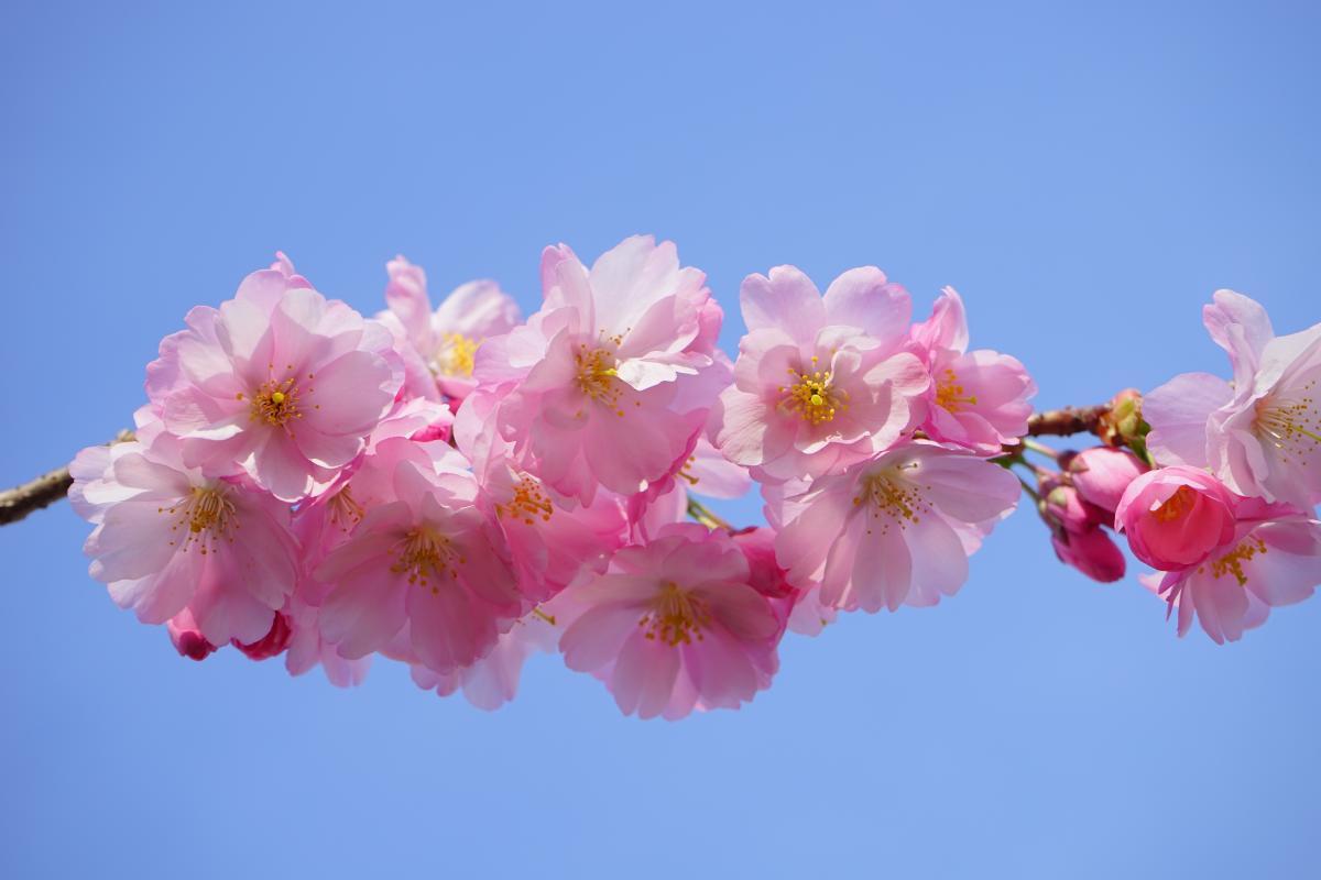 Bloom blossom branch cherry blossom #76352