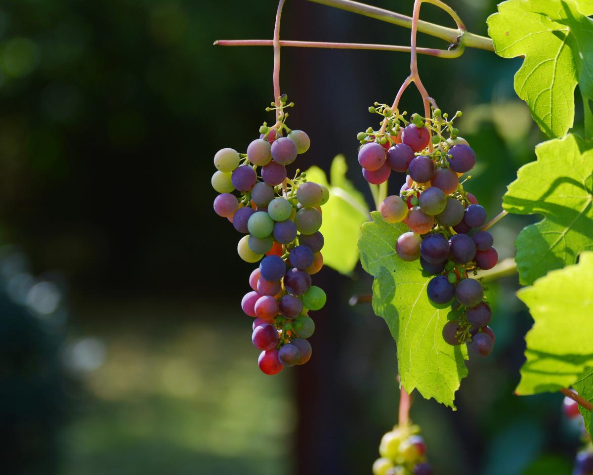 Autumn blue grapes grapes grapevine #76379