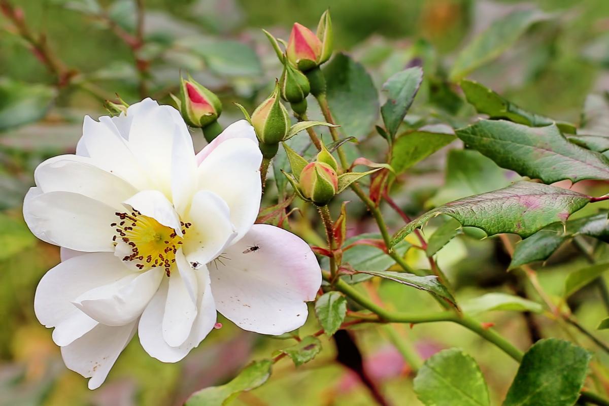 Autumn bush rose rose white #76483
