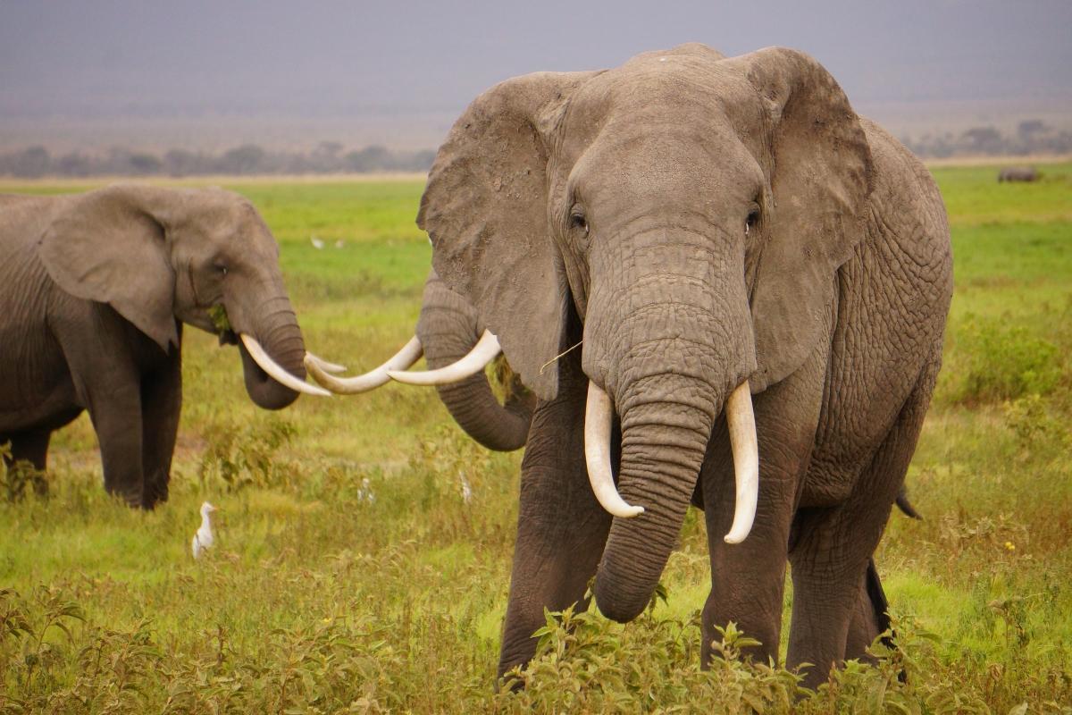 Big game grazing ivory