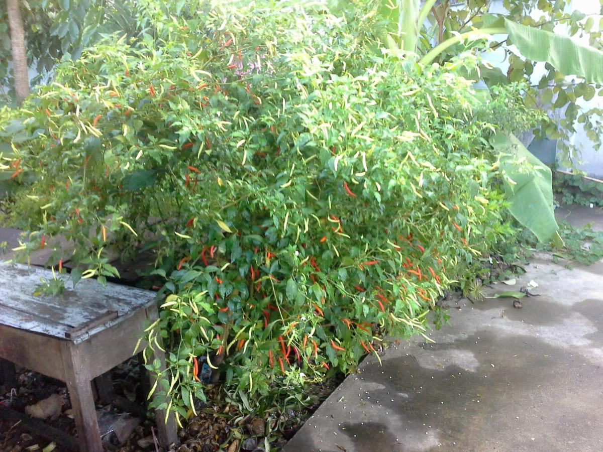 Plant Garden Parsley
