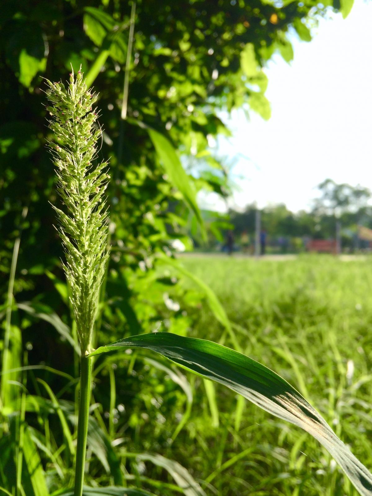 Grass Field Plant #89215