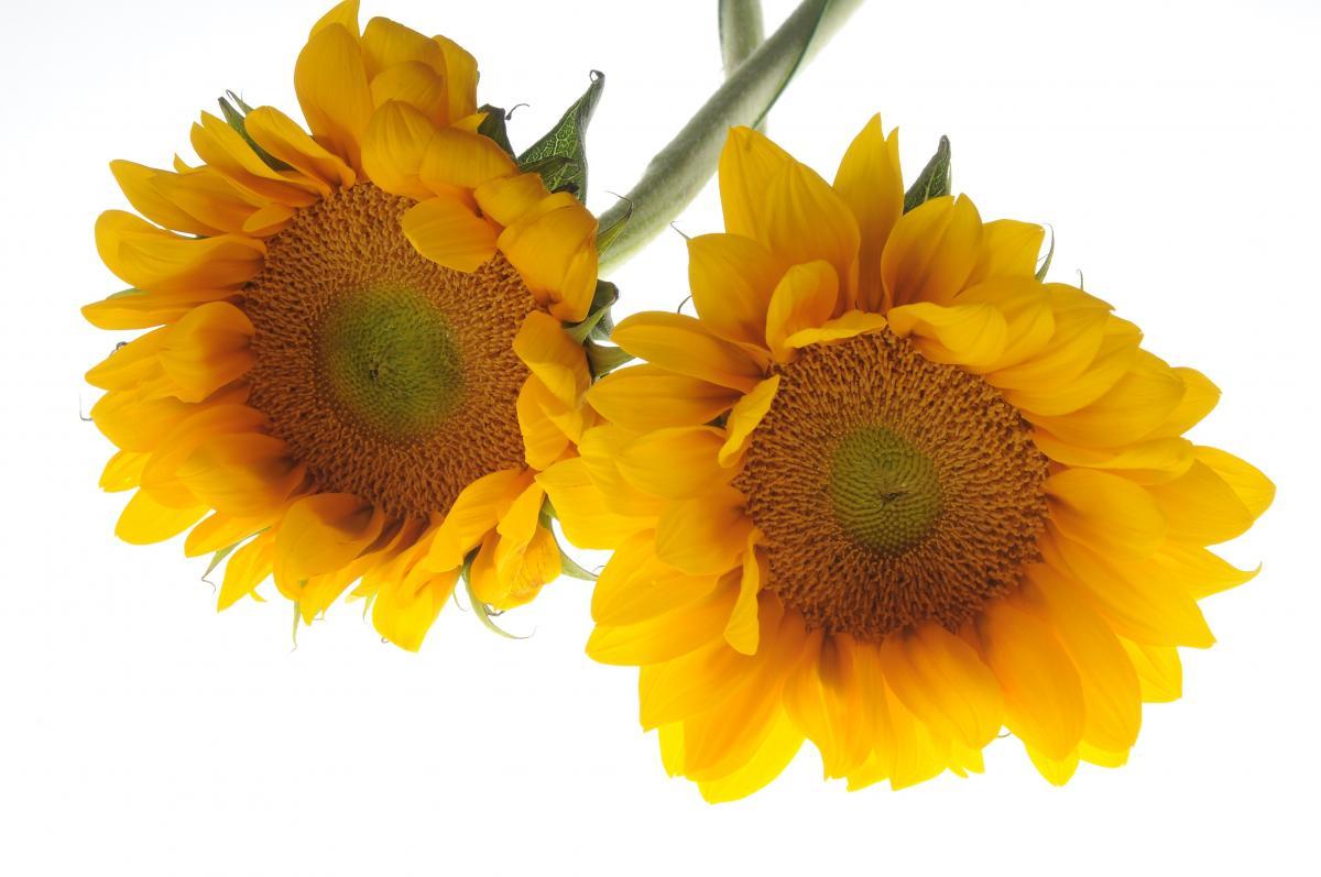 Free Flower Sunflower White Background Yellow 91636 Stock Photo