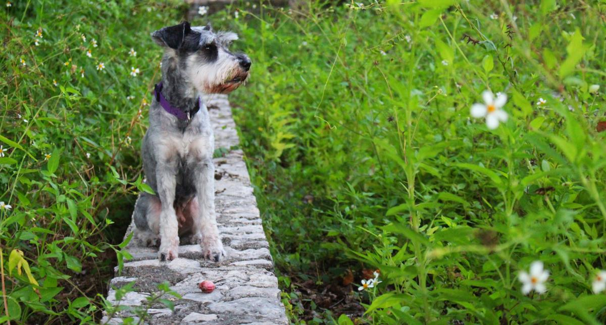 Dog flowers schnauzer #92887