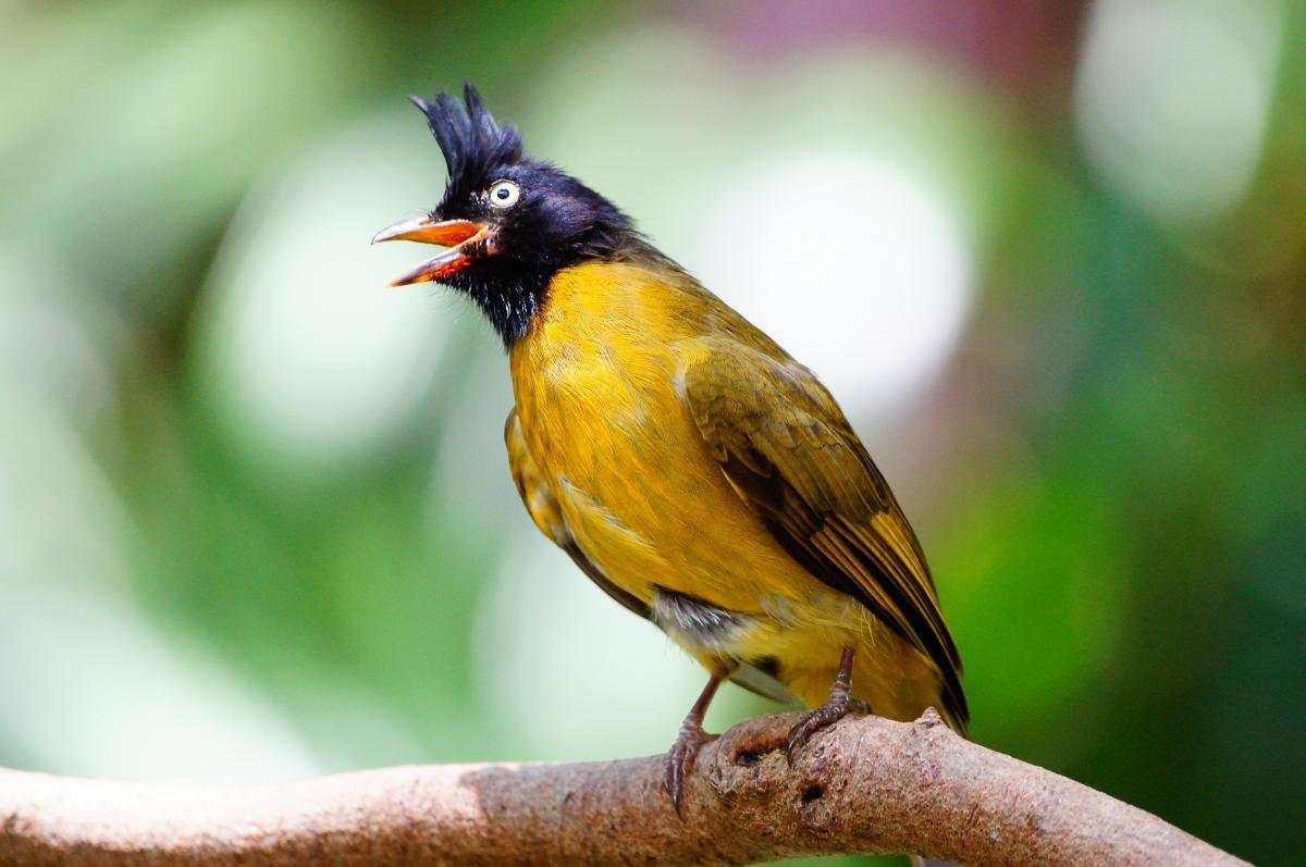 Thrush Bulbul Nightingale