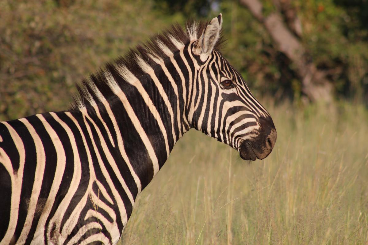 Africa animal black grass