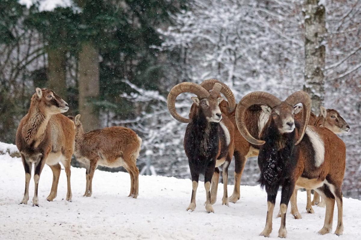 Cold european european mouflon horned #99466