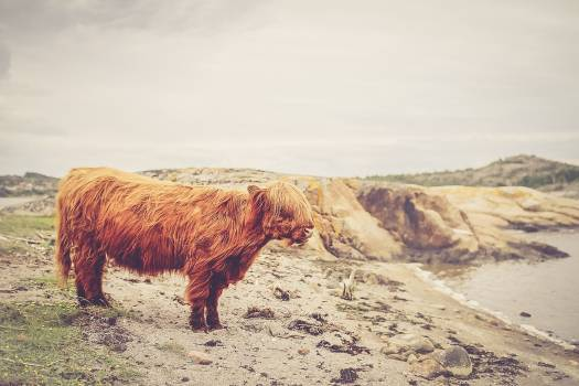 Beef Cattle Animal #100490