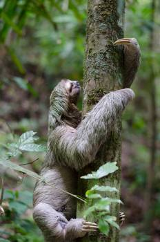 Three-toed sloth Sloth Mammal #10124