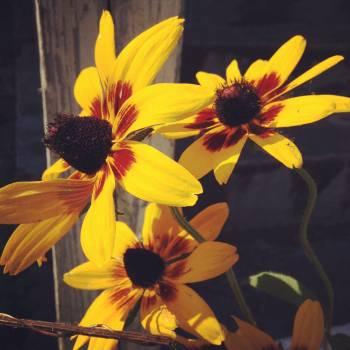 Sunflower Flower Yellow #101380