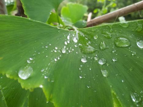 Drop Leaf Rain #10219