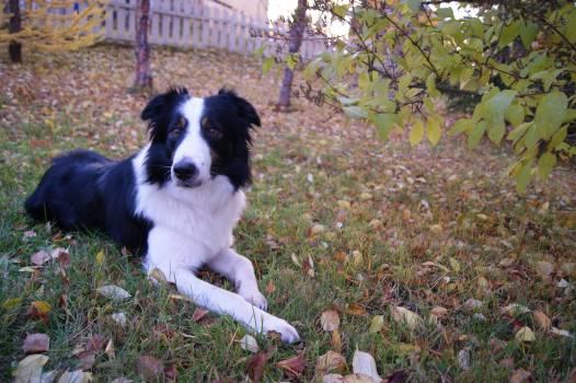 Border collie Shepherd dog Dog #102688