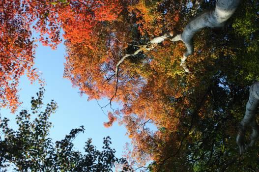 Oak Tree Maple Free Photo