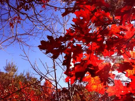 Maple Autumn Leaves Free Photo