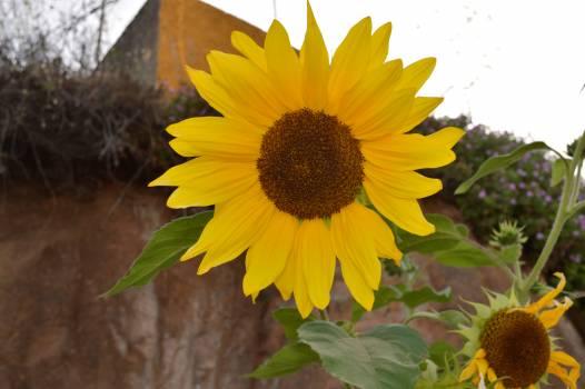 Sunflower Flower Yellow #103252