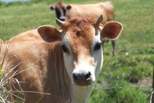 Cattle Farm Cow Free Photo