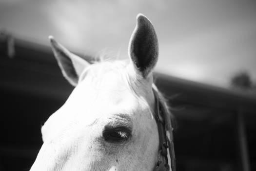 Grey Horse Animal Free Photo