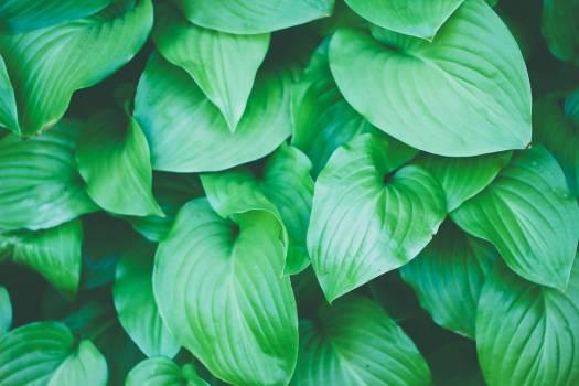 Basil Head cabbage Cabbage Free Photo