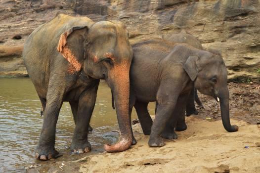 Elephant Indian elephant Mammal Free Photo