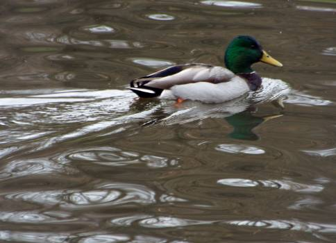 Drake Duck Waterfowl #104026