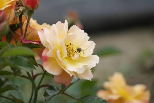 Rose Shrub Flower #104038