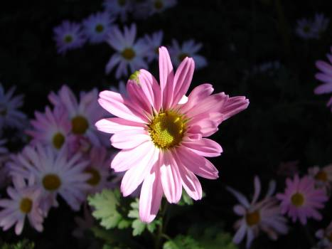 Flower Pink Plant #104147