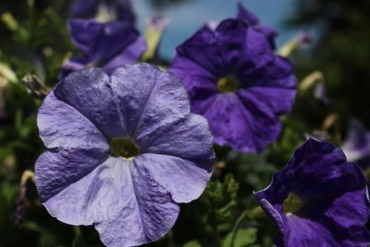 Flower Violet Plant Free Photo