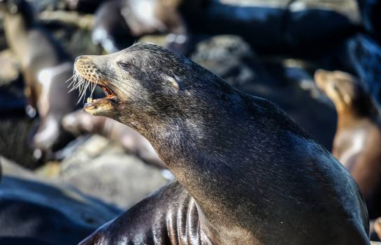 Young Sea lion Otter Free Photo