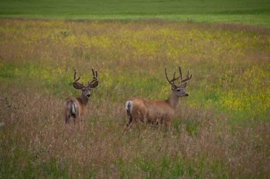 Bovid Antelope Hartebeest #10450