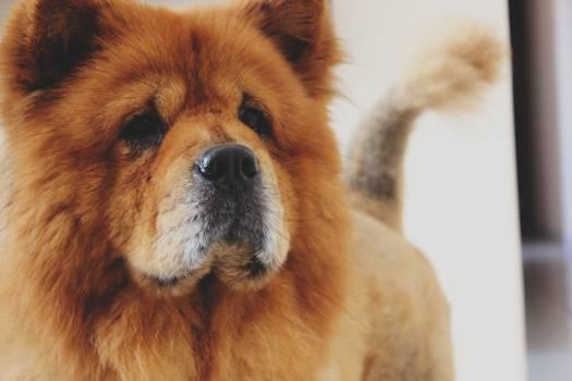 Dog Chow Spitz #10453